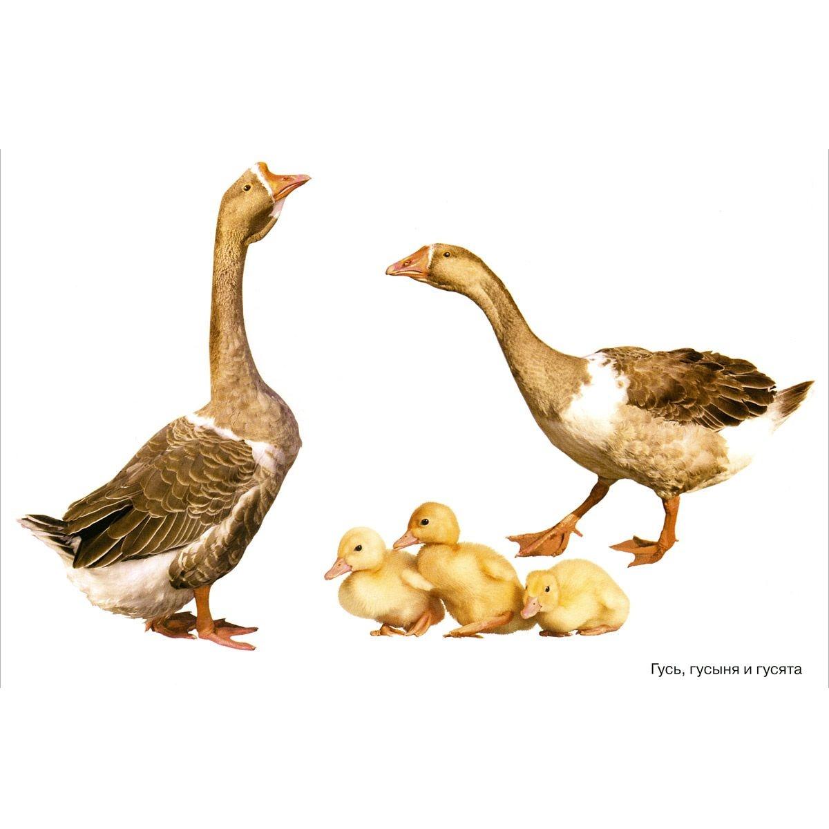 Домашние птицы мир в картинках